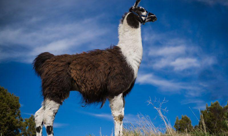 Bono - WRTL Llamas
