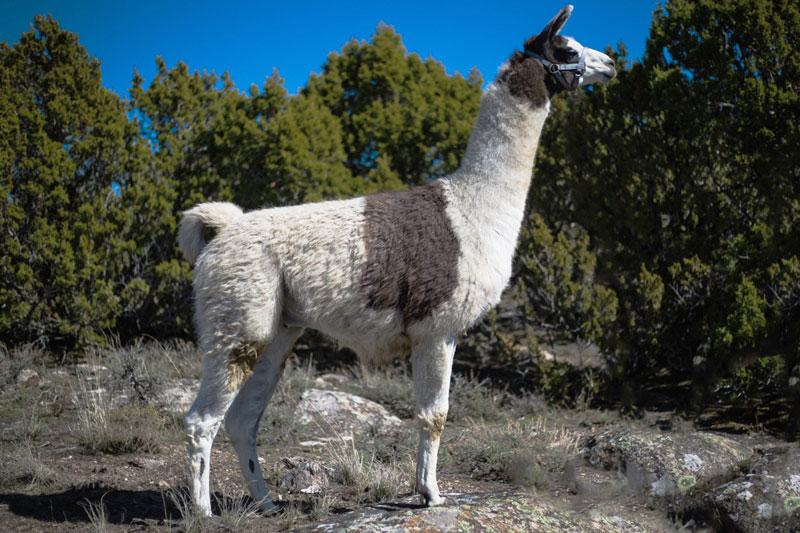 Donny Breeding Llama