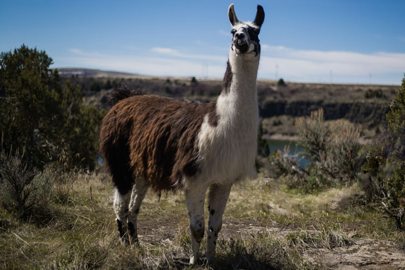 Jimmy-Big-Time Breeding Llama
