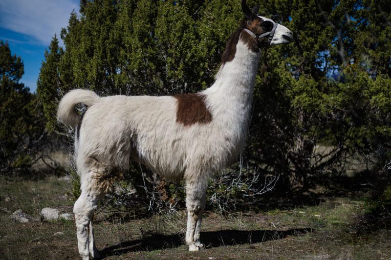 Marshall Wilderness Ridge Trail Llama