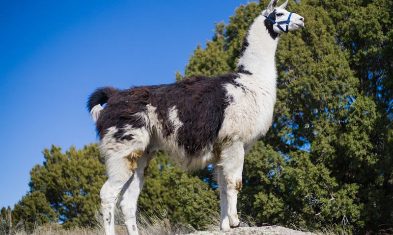 Oliver - Breeding and Pack Llamas WRTL