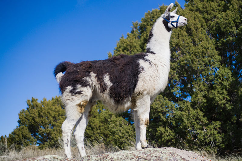 Oliver - Breeding and Pack Llamas WRTL