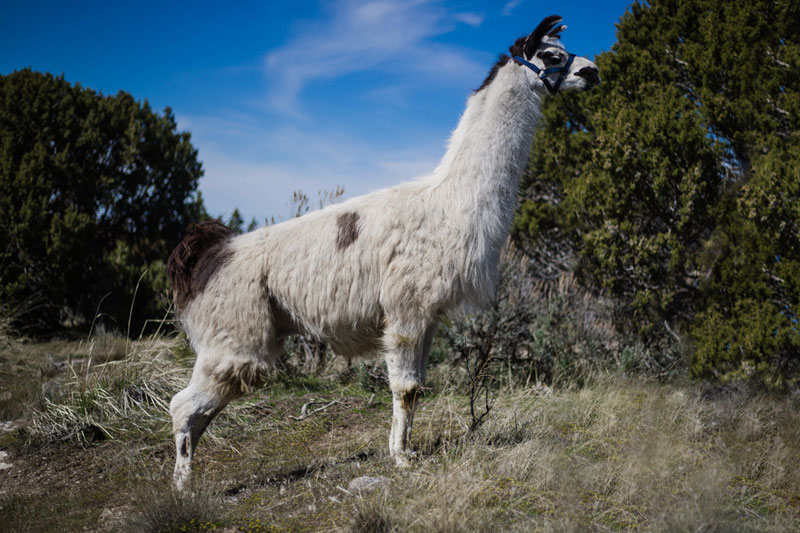 Orielly Pack Llama