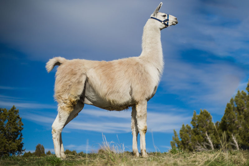 Timber Breeding Llama and Party Animal