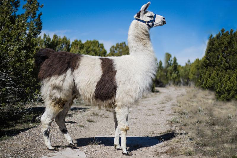 Tokyo - WRTL Breeding Llama