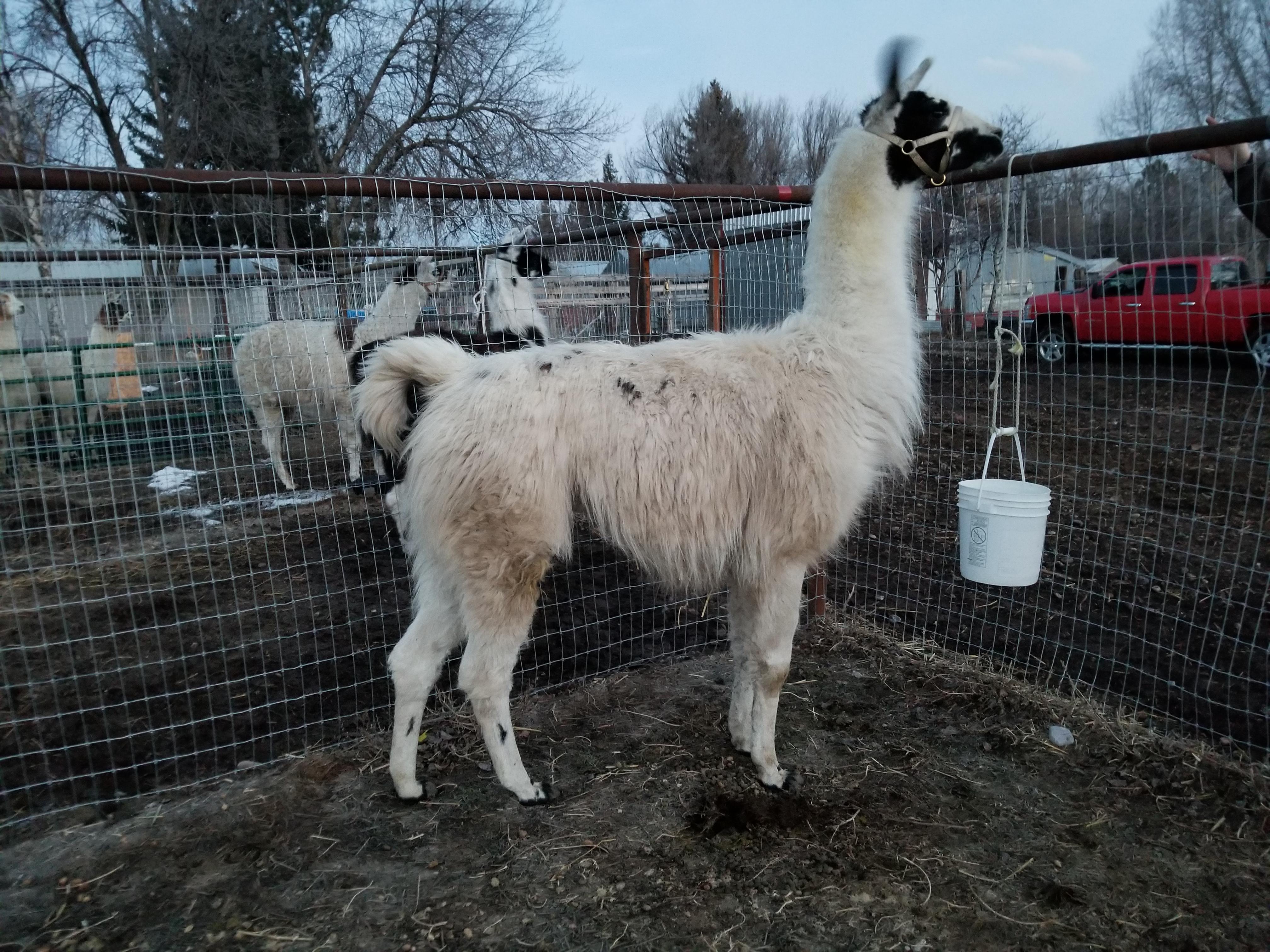 Llama Stud in Pen